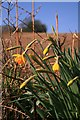 SX4167 : Daffodils below Burraton by Hugh Craddock