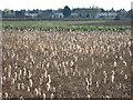 TL4098 : Bulrushes bursting open by Richard Humphrey
