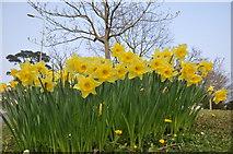 SX9473 : Teignmouth : Daffodils by Lewis Clarke