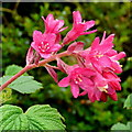 SO6424 : Flowering currant, Ribes sanguinium 'King Edward VII' by Jonathan Billinger