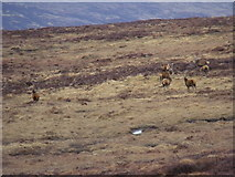 NN6667 : A few of the hundreds of deer resident hereabouts near Loch Errochty by ian shiell