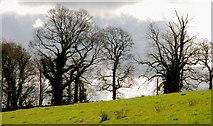 J2458 : Trees, Hillsborough by Albert Bridge