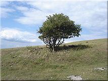 TQ4210 : Solitary bush on Malling Hill by Ian Cunliffe
