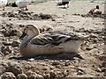 TQ5214 : Duck at Blackberry Farm by Oast House Archive