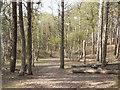 SD2707 : Pine Woodland, Formby by David Dixon