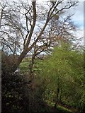 SO8252 : Trees on Ham Hill by Andrew King