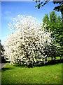 NZ3365 : Springtime blossom by Stanley Howe