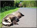 TQ6740 : Dead badger on Fairman's Lane by Oast House Archive