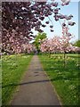 SE3054 : Cherry trees near York Place by DS Pugh
