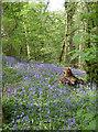 ST6464 : Bluebells in Park Copse by Neil Owen