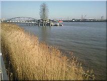 TQ3979 : River Thames reeds by Marathon