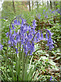 ST6763 : Bowing Bluebells by Neil Owen