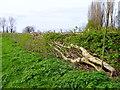 SK9153 : Laid hedge, Brant Broughton by Maigheach-gheal