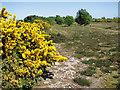TM4875 : Flowering gorse, Walberswick Common by Evelyn Simak