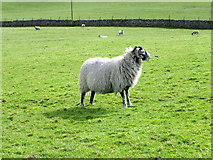 SE0699 : Swaledale ewe, Marrick by Maigheach-gheal