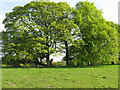 NT1266 : Parkland trees at Easter Newton by M J Richardson