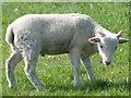 SU0625 : Wiltshire Horn lamb, Bishopstone by Maigheach-gheal