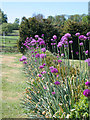 SK9226 : Allium giganteum at Easton Walled Gardens by Kate Jewell