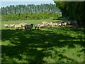 TQ0421 : Field with sheep on Toat Lane by Shazz