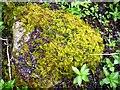 NY8015 : Common Tamarisk-moss (Thuidium tamariscinum) by Andrew Curtis