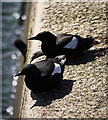 J5082 : Black guillemots, Bangor by Rossographer