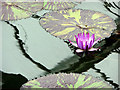 TQ1877 : Water Lily, Princess of Wales Conservatory, Kew Gardens by Christine Matthews