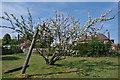 SO8642 : Apple tree in blossom by Philip Halling