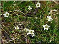 NY9039 : Spring Sandwort (Minuartia verna), Low Slitt Mine by Andrew Curtis