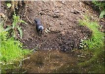 TQ2173 : Jackdaw looking at itself in Beverley Brook by Bill Boaden