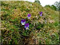 NY9039 : Wild Pansy (Viola tricolor), Middlehope Shield Mine by Andrew Curtis