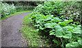J3481 : Giant butterbur, Newtownabbey by Albert Bridge