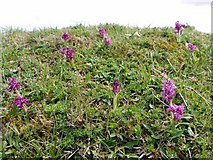 NY9038 : Early-purple Orchid (Orchis mascula), Scutter Hill Quarry by Andrew Curtis