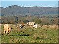 SO7939 : Cattle on Castlemorton Common - 2 by Trevor Rickard