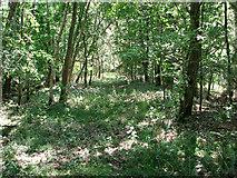 TM4599 : East Suffolk line through Waveney Forest - overgrown trackbed by Evelyn Simak