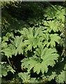 SX9150 : Gunnera leaves, Coleton Fishacre by Derek Harper