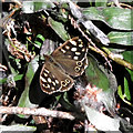 SU1331 : Speckled Wood by Jonathan Kington