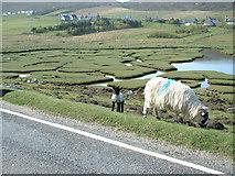 NF9990 : Salt marsh lamb in the making by Hazel Hambidge