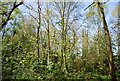 TQ3664 : Spring Park Wood by N Chadwick