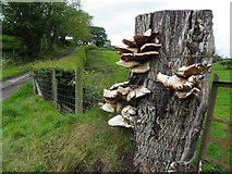 H4570 : Fungus on a tree stump, Beagh by Kenneth  Allen