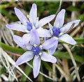 NB0033 : Spring Squill (Scilla verna) by Anne Burgess
