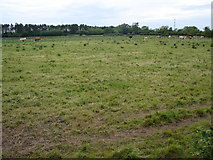 N9731 : Cattle on Commons Lower by Ian Paterson