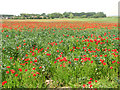 TG4905 : A field of poppies north of Market Road, Belton by Evelyn Simak