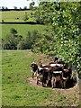 SS9316 : Calves, Moorhayes Farm by Derek Harper