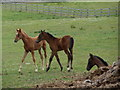 SK3171 : Foals in a field by Andrew Hill