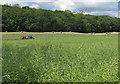 SE7385 : Oilseed rape ripening near Dawson's Wood by Pauline E