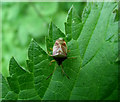 SJ8955 : Hawthorn Shieldbug by Jonathan Kington