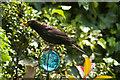 TQ3088 : Blackbird in Crouch End by Julian Osley