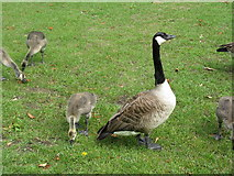 TL0549 : Goose and goslings by M J Richardson