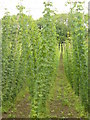 SU9247 : Hops at Puttenham by Colin Smith