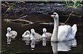 J2766 : Swan and cygnets, Lambeg by Albert Bridge